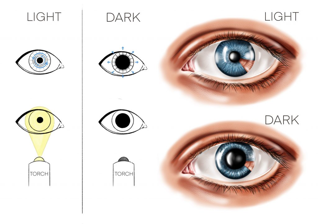 When light is shone at the eye, the central black hole (pupil) becomes small. The pupil becomes bigger when in dark.