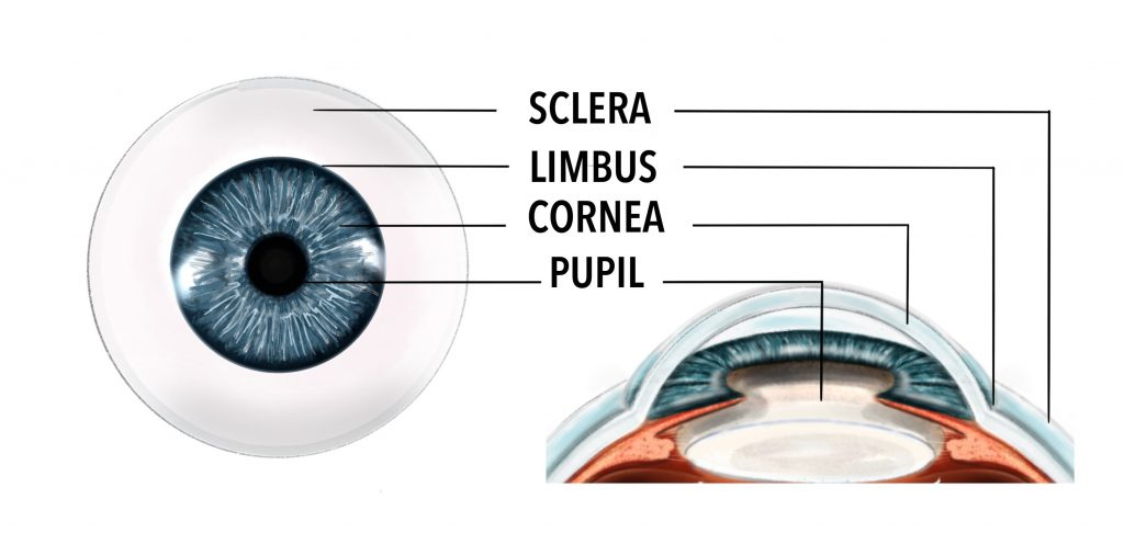 A face on view of the front of the eyeball demonstrating the location of the sclera, which is the white of the eye.