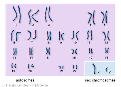 All 23 pairs of chromosomes are shown. 22 pairs are autosomes while the presence of X and Y sex chromosomes represent a male.