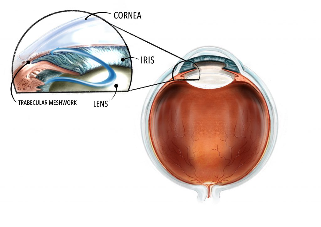 A diagram revealing the inside of the eye. The trabecular meshwork is a small drainage structure located between the clear window of the eye (cornea) and the coloured part of the eye (iris).