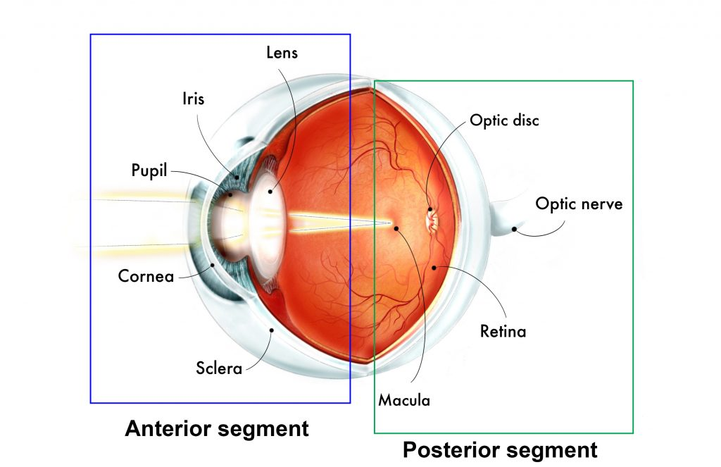 This is a three dimensional illustration of the eye. The structures are listed from front to back. The anterior segment, highlighted in a blue box consists of the sclera, cornea, pupil, iris and lens. The posterior segment, highlighted by a green box consists of the retina, macula, optic disc and the optic nerve.
