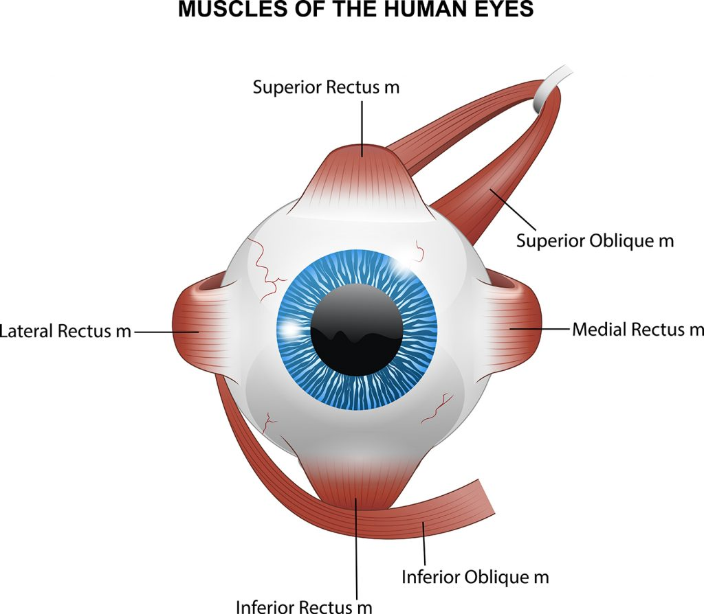 An eye ball with muscles attached in different locations, one each at the 12, 3, 6, and 9 o'clock positions. There is that attaches at the 2 o'clock position and the other attaches at the 8 o'clock position